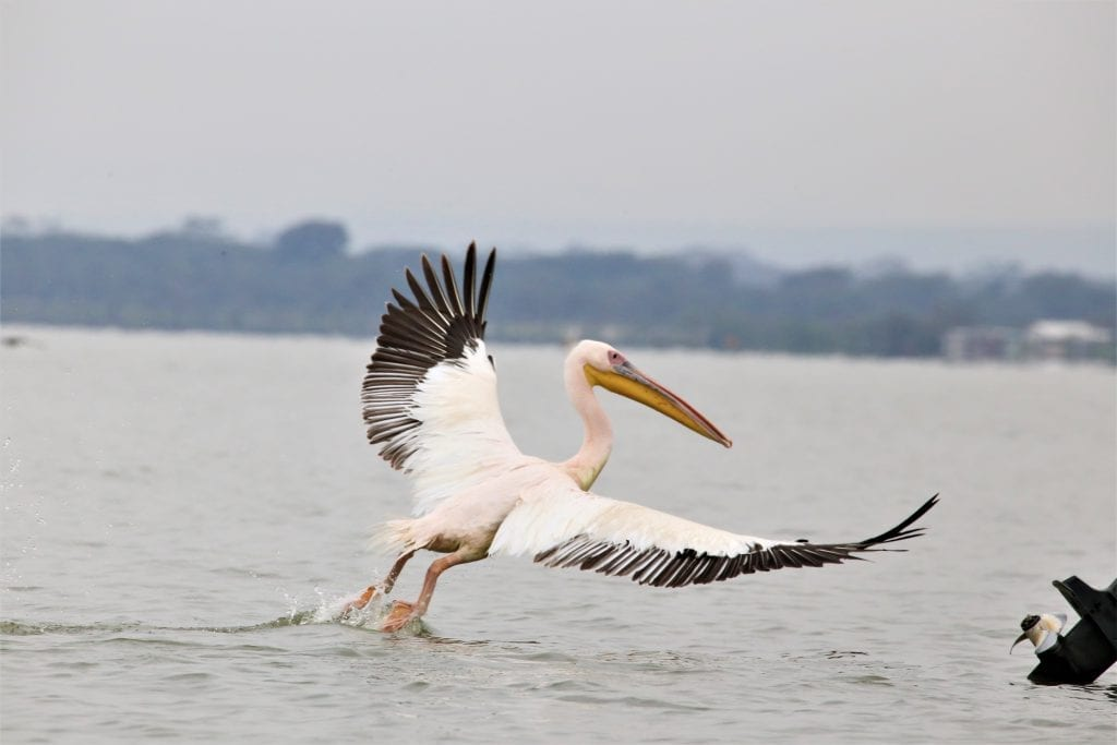 Great White Pelicans on the shore of Lake Naivasha, Kenya, Africa
