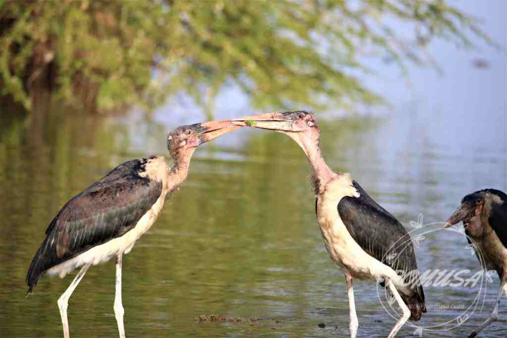 The marabou stork (Leptoptilos crumenifer) is a large wading bird in the stork family Ciconiidae.