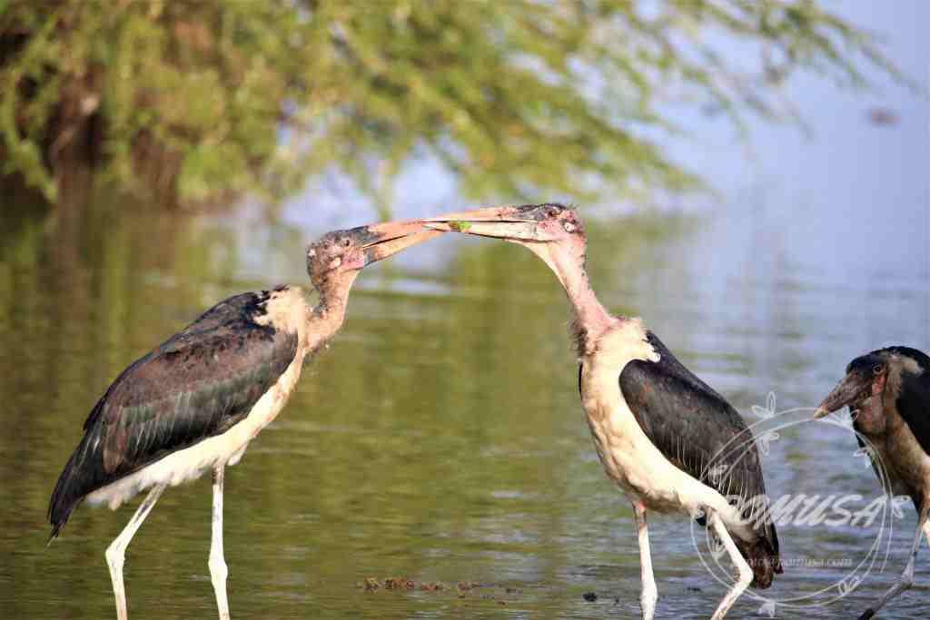 The marabou stork (Leptoptilos crumenifer) is a large wading bird in the stork family Ciconiidae.