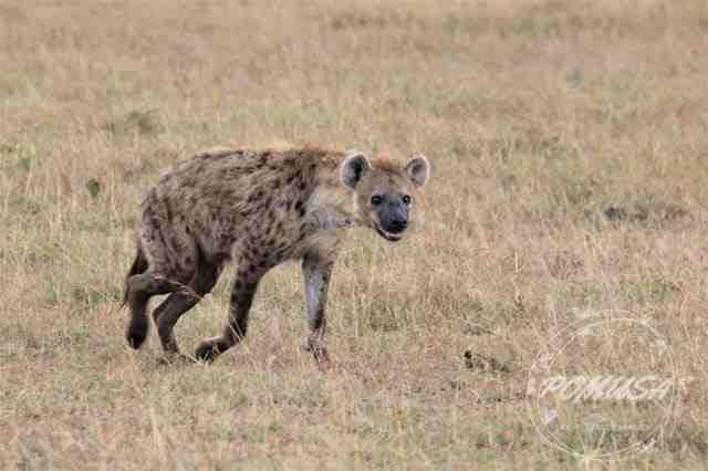 Spotted Hyena Happy After Mating, Maasai Mara, Kenya