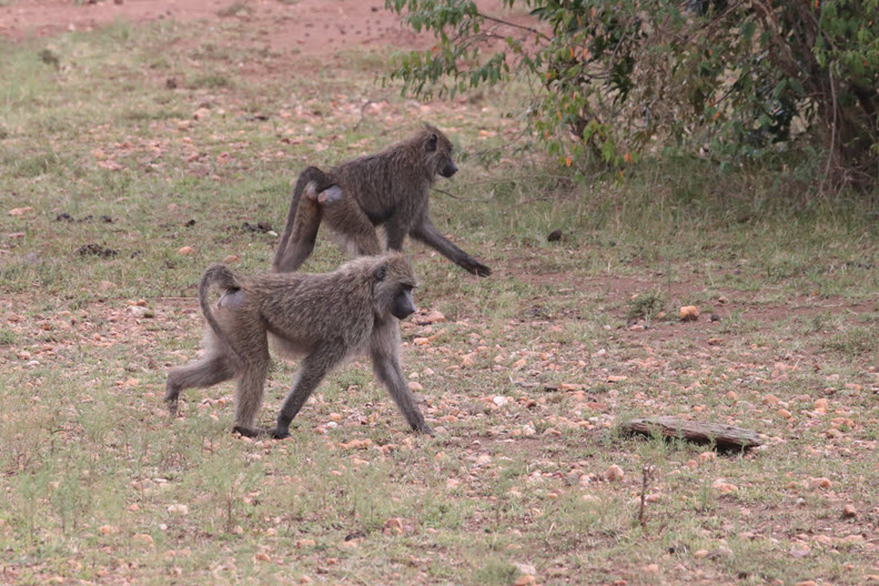 The olive baboon (Papio anubis), also called the Anubis baboon, is a member of the family Cercopithecidae (Old World monkeys)