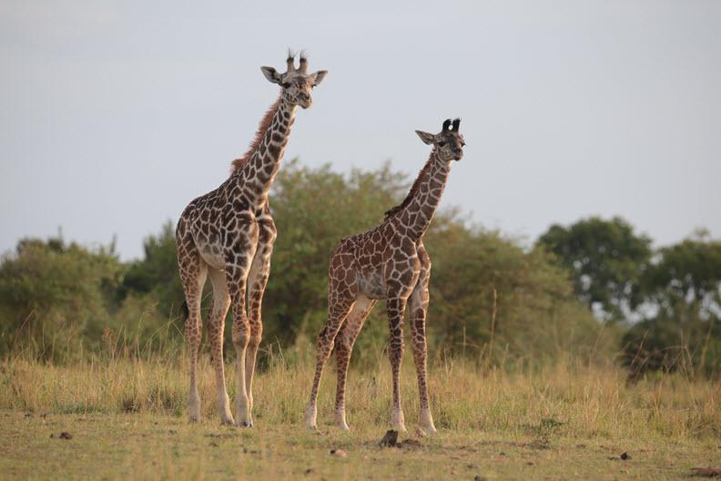 The Masai giraffe (G. c. tippelskirchi), Masai Mara Nature Reserve, Kenya