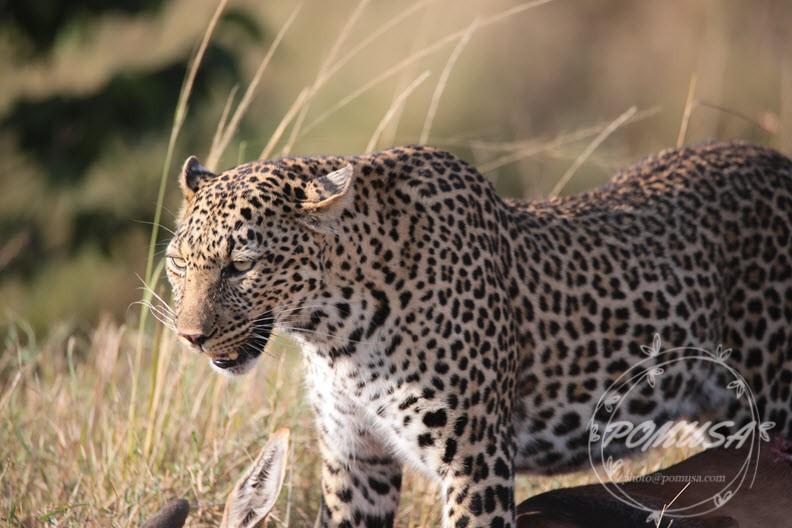 Leopard taking a break from moving prey, Maasai Mara, Kenya