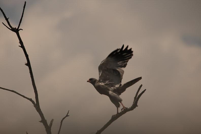 Hawk, Maasai Mara, Kenya