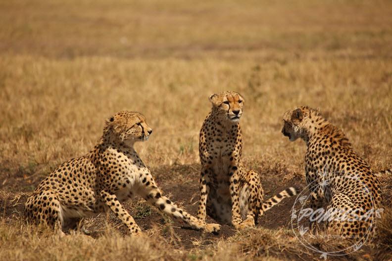 6 cheetahs, Maasai Mara Nature Reserve, Kenya
