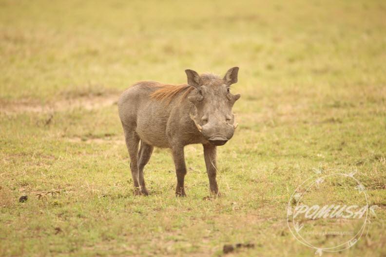 Pumbaa aka Warthog (African Wild Pig) in Maasai Mara Nature Reserve, Kenya