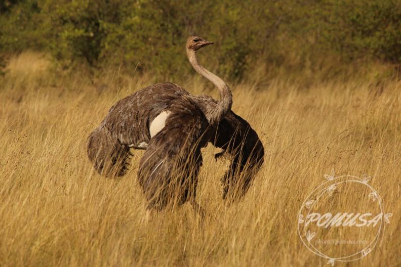 Ostrich, Maasai Mara Nature Reserve, Kenya