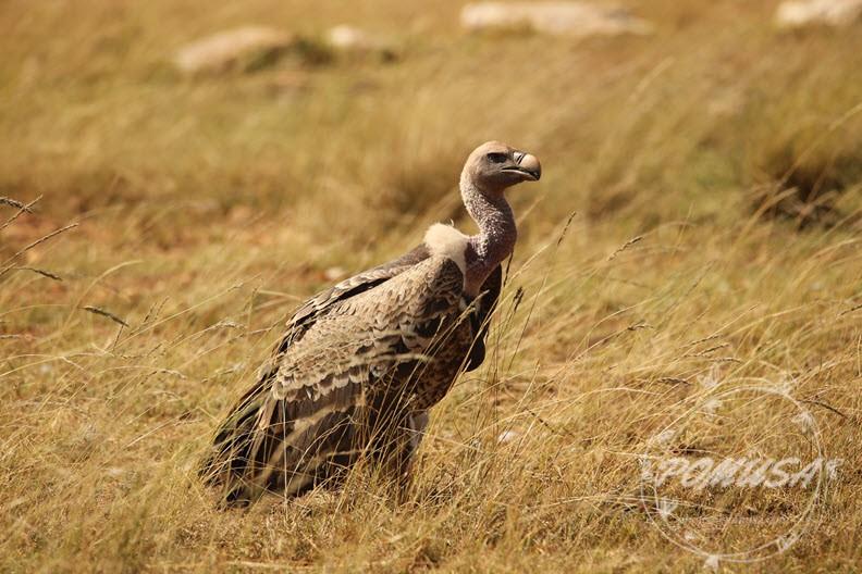 A Vulture , Maasai Mara Nature Reserve, Kenya