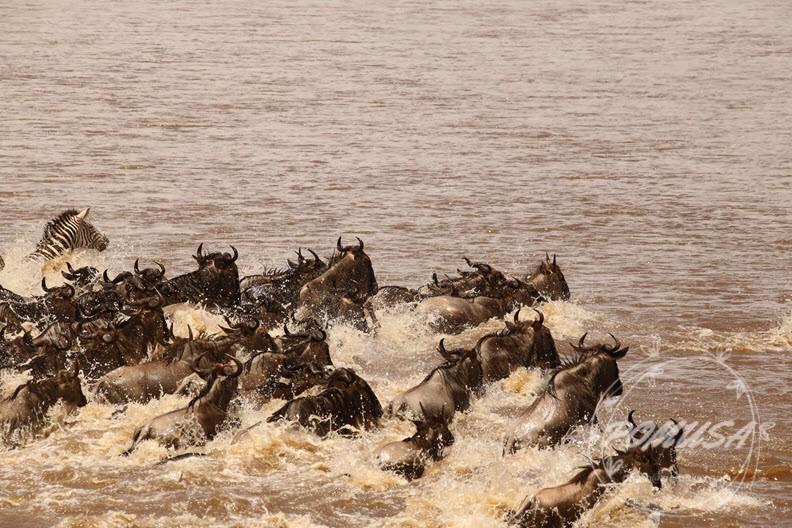 Wildebeest Migration crossing Mara River in Maasai Mara Nature Reserve, Kenya