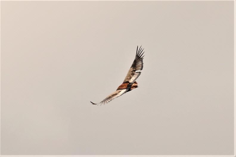 Eagle hovering the sky, Maasai Mara Nature Reservee, Kenya