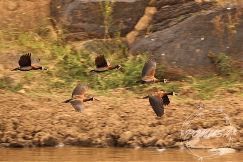 Whistling Duck flying over Mara River, Masaai Mara, Kenya
