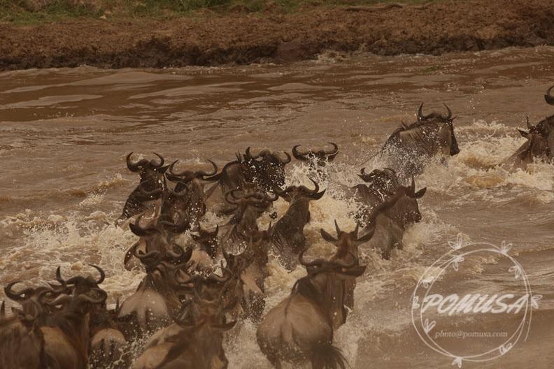 Wildebeest Migration crossing Mara River in Masai Mara Nature Reserve, Kenya