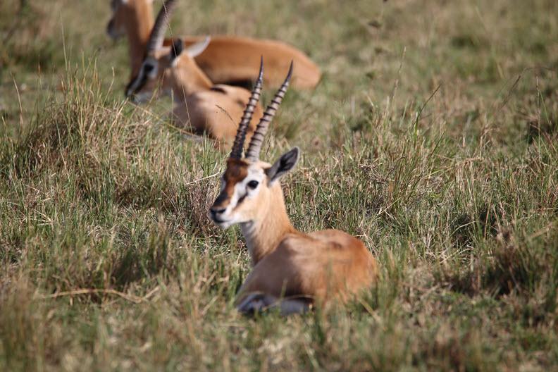 Thomson's gazelle (Eudorcas thomsonii) is one of the best-known gazelles