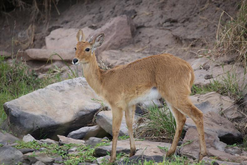 Kirk's dik-dik (Madoqua kirkii) is a small antelope native to Eastern Africa and one of four species of dik-dik antelope.