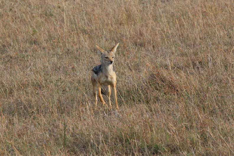 The black-backed jackal (Canis mesomelas[2] or Lupulella mesomelas[3][4]) is a canine native to eastern and southern Africa.