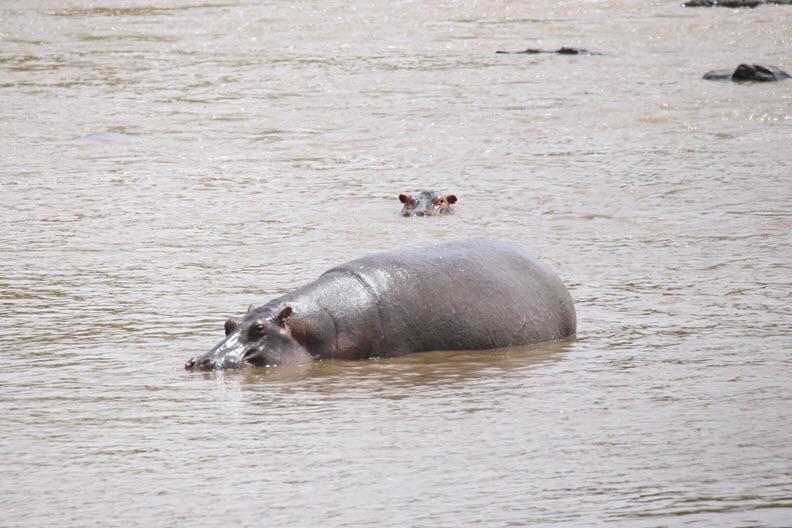 The hippopotamus (/ˌhɪpəˈpɒtəməs/ HIP-ə-POT-ə-məs;[3] Hippopotamus amphibius), also called the hippo, common hippopotamus or river hippopotamus.
