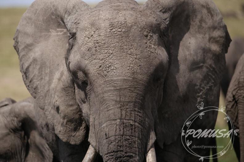 African Elephant, Maasai Mara Nature Reserve, Kenya