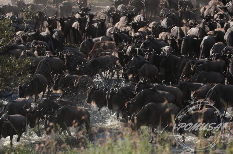 Great Migration of Wildebeest near Mara River