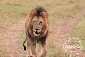 Male Lion, Maasai Mara Nature Reserve, Kenya