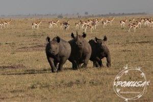 Rare sighting of three Rhinoceros together, Maasai Mara Nature Reserve, Kenya