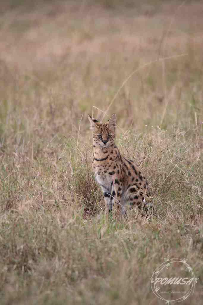 The Serval (Leptailurus serval), Maasai Mara Nature Reserve, Kenya