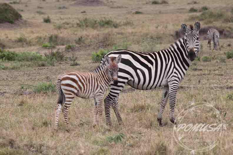 Brown Baby and Mama Zebra, Maasai Mara Nature Reserve, Kenya