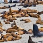 Seals, Sealions and Elephant Seals at Point Bennett, San Miguel Island