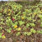 San Miguel Island Flora